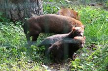 The bush dog