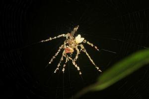 The Decoy Spider lays in wait