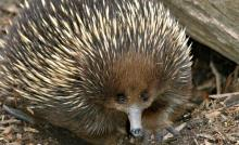 The Echidna, or spiny ant eater.