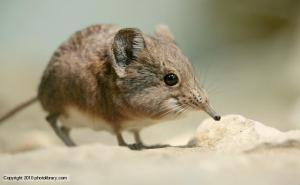 Look how cute this elephant shrew is.