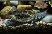 The Mata Mata turtle stalks the water floor