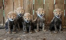 Baby cheetahs do that cute thing