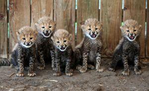 Baby cheetahs do that cute thing