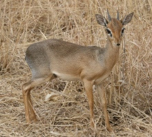 The Majetic Dik Dik