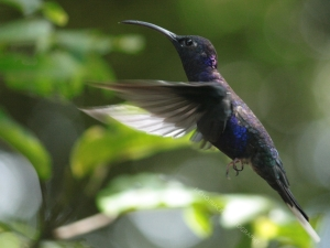 The violet sabrewing hovers in the air