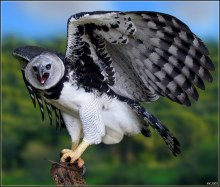This harpy eagle is mad at you