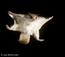 The flying squirrel flies, glides, whatever.