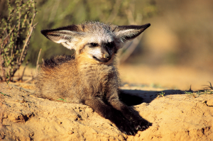 Bat-eared foxes are so craaazzzy