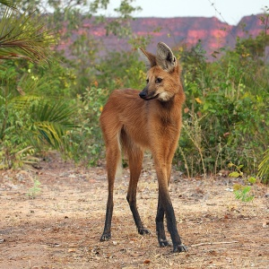 the maned wolf and its sexy legs
